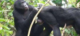 Même les Bonobos ont besoin de lunettes