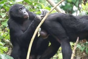 Une recherche démontre que la vue baisse chez les bonobos à la même période que chez les humains. Cela contredit l'hypothèse que notre vie moderne, composée principalement d'écrans, est la seule responsable de la baisse de la vue chez les humains.