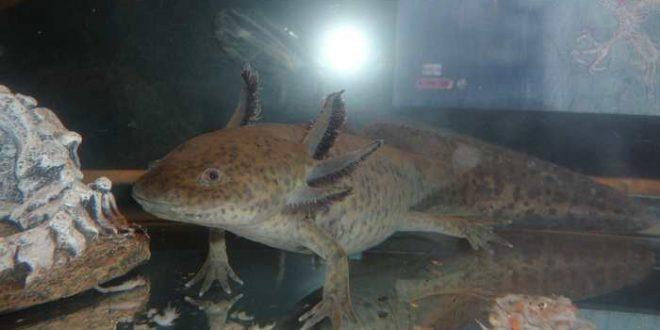 La régénération des salamandres suggère des pistes contre l'infertilité humaine