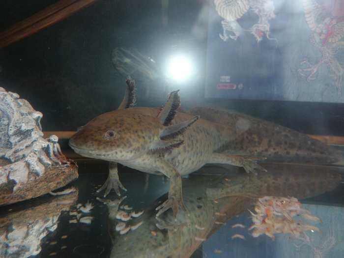 La régénération des ovaires chez les salamandres Axolotl suggère des pistes pour des traitements contre l'infertilité chez les humains.