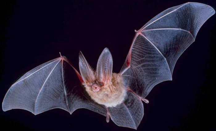 Des chercheurs ont démontré que des chauves-souris pouvaient se déplacer à une vitesse de 160 km/h. Si c'est confirmé, alors cette vitesse est supérieure à n'importe quel oiseau connu.