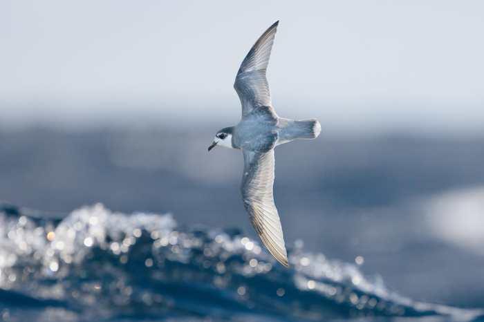 De nombreux oiseaux mangent du plastique qui pollue les océans. Et les chercheurs suggèrent que c'est principalement lié à l'odeur qui confond le plastique et la nourriture habituelle des oiseaux.