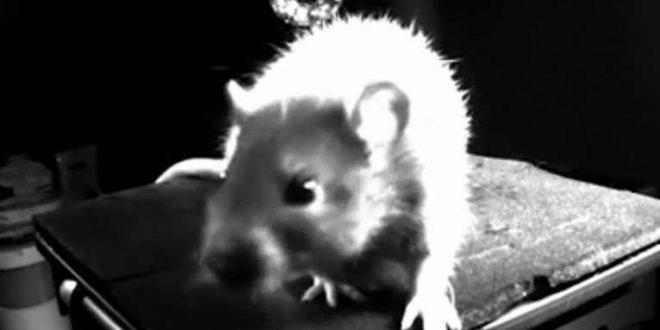 Les rats rient lorsqu'ils sont chatouillés