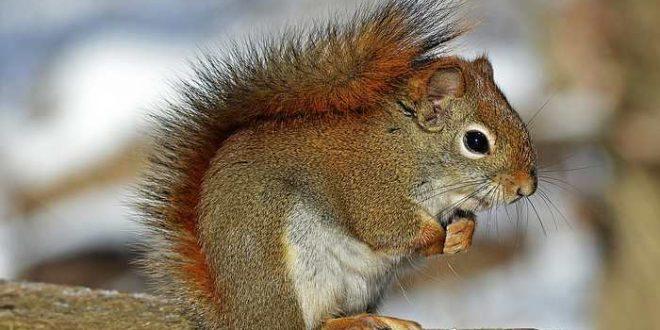 Les écureuils roux en Angleterre transportent la lèpre
