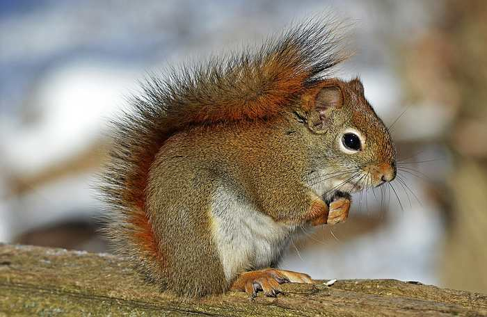 Les chercheurs ont découvert la lèpre chez les écureuils roux en Angleterre et c'est la même espèce de virus que chez les humains. Mais il n'y a aucune crainte sur une transmission humaine, mais cela pourrait poser des problèmes sur la protection de ces animaux.