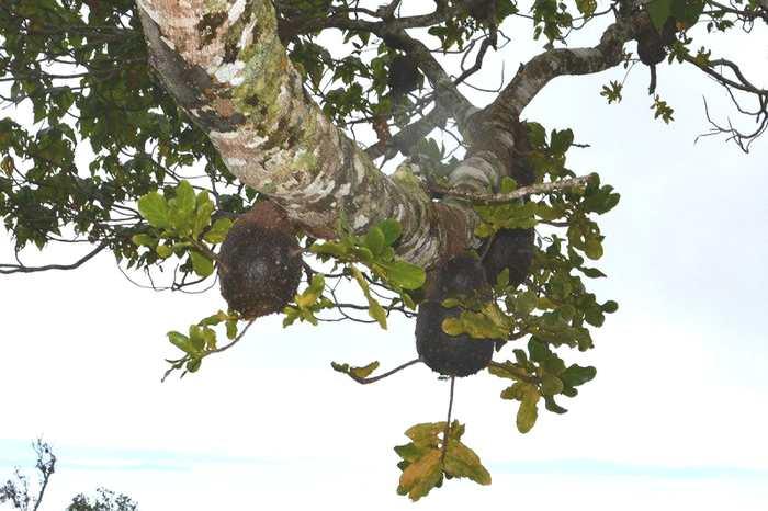 Les fourmis ont été les premières. Une fourmi dans les îles Fiji a commencé l'agriculture il y a 3 millions d'années, bien avant les humains.