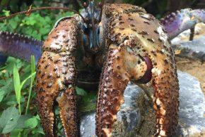 Une recherche démontre que la force des pinces du crabe de Cocotier est la plus puissante de tous les crustacés. Et cette force des pinces surpasse la morsure de la plupart des animaux terrestres.