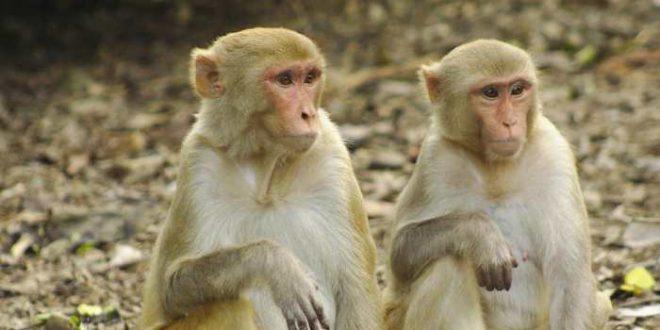 Le statut social affecte le système immunitaire chez les macaques