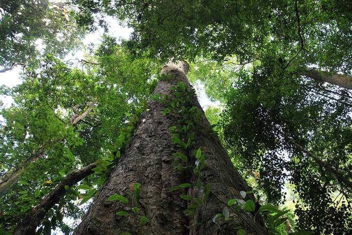 On a découvert un arbre d'une hauteur de 81 mètres dans une région de la montagne Kilimandjaro. C'est désormais le plus grand arbre de toute l'Afrique.