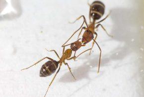 """On connait le """"baiser"""" des fourmis dans lequel ces insectes sociaux échangent de la nourriture, mais ce processus pourrait aussi cacher une forme de communication selon une nouvelle recherche."""