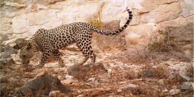 Les Léopards d'Arabie menacés à cause des collecteurs d'encens
