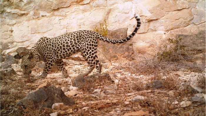 Le Léopard d'Arabie est une espèce très menacée puisqu'il ne reste que 200 spécimens dans la nature. Et ils pourraient disparaitre totalement à cause de la récolte des arbres à encens ou Olibans.