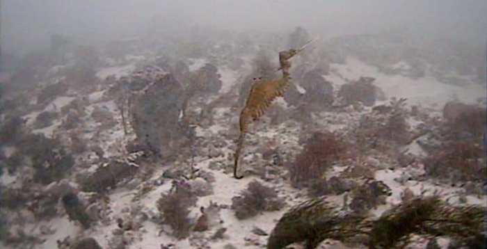 Pour découvrir des Dragons de mer Rubis (Phyllopteryx dewysea) dans leur milieu naturel, des chercheurs ont mené une expédition en Australie-Occidentale pour les étudier et déterminer leurs différences par rapport à d'autres espèces de dragon de mer.