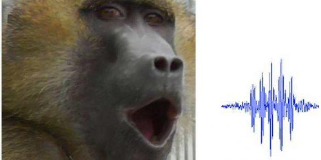 La vocalisation des babouins contient 5 sons de voyelle similaires à ceux des humains