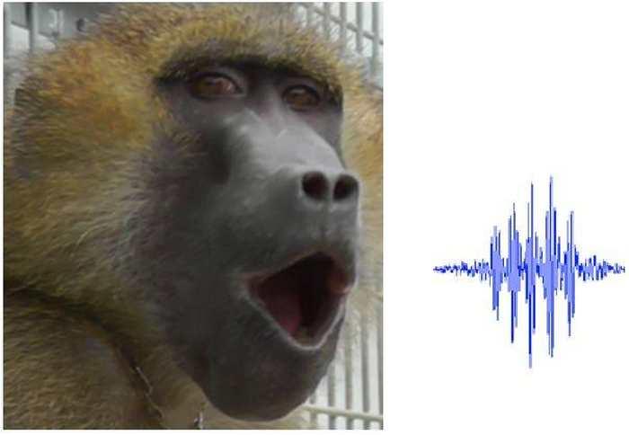 Une recherche a analysé les sons vocaux des babouins et on a remarqué 5 sons caractéristiques ressemblant à des voyelles chez les humains.