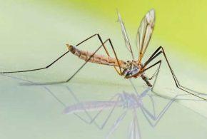 Des chercheurs ont modifié génétiquement des moustiques pour résister à l'infection du virus dengue. L'expérience est très prometteuse, mais il faudra des années avant qu'on puisse envisager des essais cliniques et une introduction dans l'environnement.