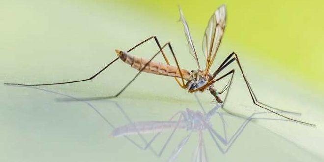 Les scientifiques créent un moustique résistant à la dengue