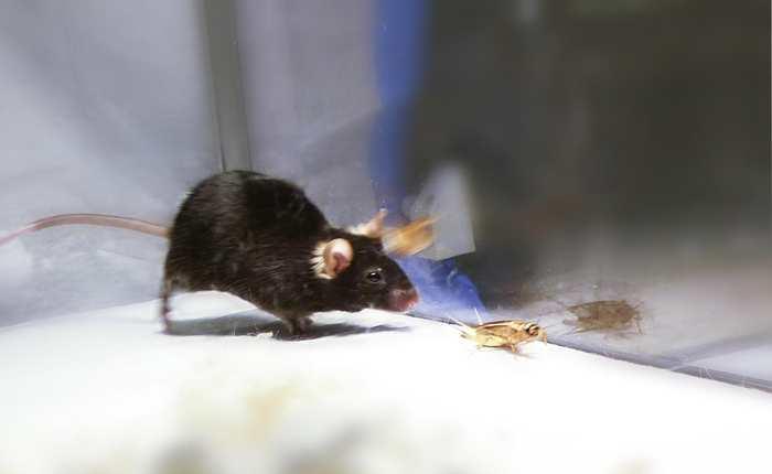 Cette image montre une souris qui chasse un criquet en étant stimulée par l'optogénétique