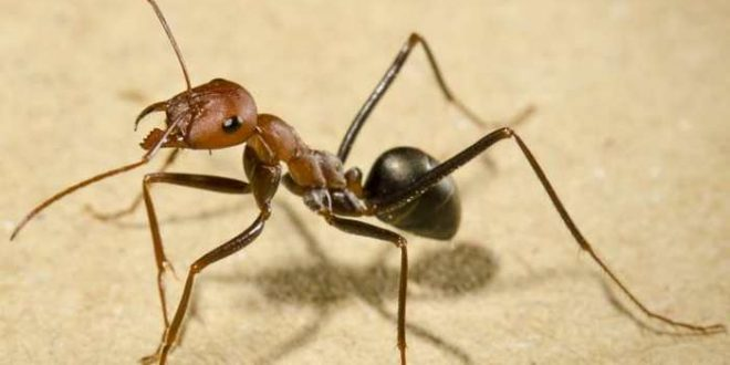 Les fourmis trouvent leurs chemins même à reculons