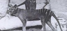 Le fonctionnement du cerveau du Tigre de Tasmanie via la neuroimagerie