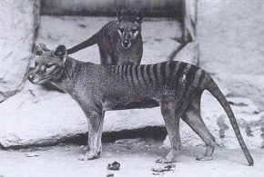 Une photo d'un couple de Tigre de Tasmanie - Crédit : Smithsonian Institutional Archives, 1904