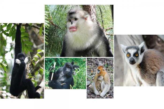 Quelques uns des primates qui sont menacé d'extinction ou ayant une population sur le déclin. Dans le sens des aiguilles d'une montre à partir du centre en haut, on a le singe à nez retroussé, le lémurien Catta, le Rhinopithèque de Roxellane, le gorille des montagnes et le gibbon à joues blanches - Crédit : Paul Garber, Matthias Appel, Ruggiero Richard, Fan Peng-Fei.