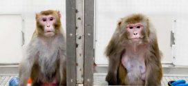 Régime hypocalorique : Une meilleure espérance de vie et santé chez les singes