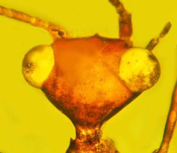 Les chercheurs rapportent la découverte d'un ancien insecte datant de 100 millions d'années préservées dans l'ambre. Cet insecte est tellement particulier qu'il bénéficie de son propre ordre parmi les insectes. L'ordre est Aethiocarenodea et l'insecte a été appelé Aethiocarenus burmanicus.
