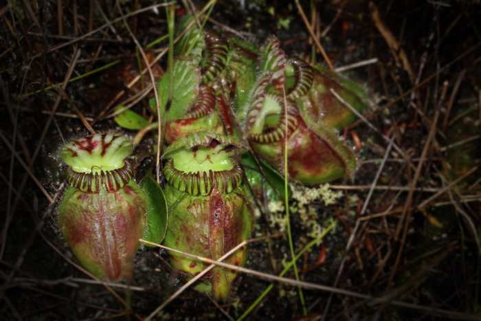Une recherche suggère que pour une plante, la trajectoire évolutionnaire pour devenir carnivore est assez limitée. Même chez des plantes carnivores totalement différentes, leur chemin évolutionnaire est très similaire.
