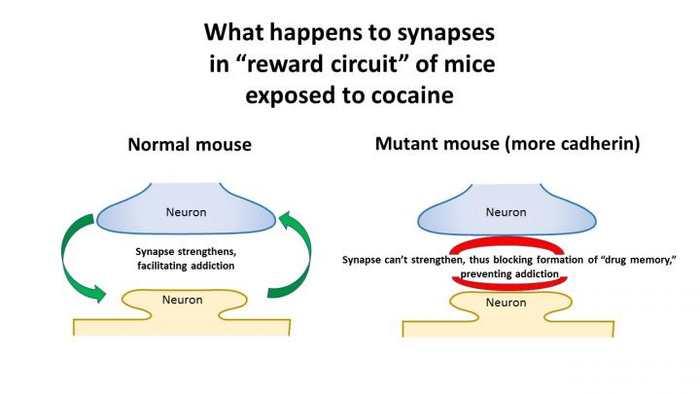 """Des scientifiques ont modifié génétiquement une souris pour qu'elle résiste à l'addiction de la cocaïne. Cela renforce les preuves que l'addiction à ce type de drogue est le résultat de la génétique et de la biochimie plutôt qu'une sorte de """"mauvais jugement"""". Si les résultats sont intéressants dans les souris, il est difficile de les extrapoler sur les humains."""