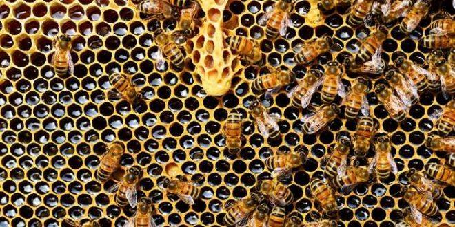 Le déclin des abeilles sauvages menace la production agricole américaine