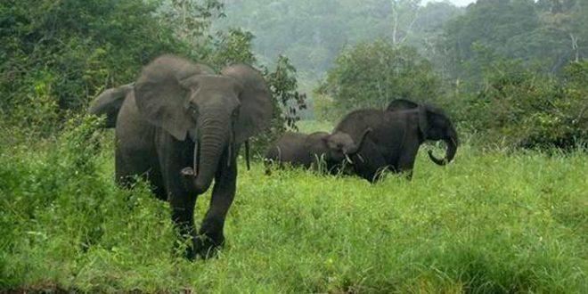 Une réduction de 80 % des éléphants dans une réserve à cause du braconnage