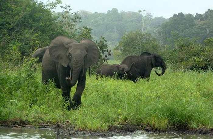 Le parc national du Minkébé, l'une des plus importantes réserves d'éléphants en Afrique, est touché de plein fouet par le braconnage. Une recherche suggère une diminution des éléphants de 80 % en l'espace de 10 ans.