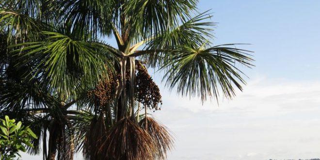 Les anciens peuples ont refaçonné la forêt de l'Amazonie