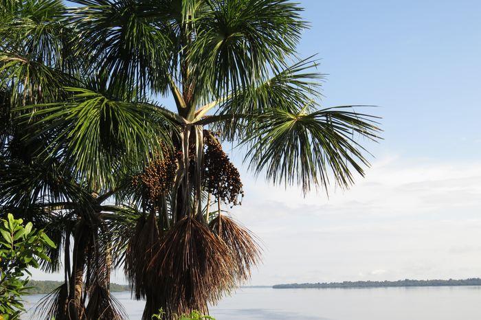 Une recherche suggère que les anciens peuples ont influencé considérablement les espèces d'arbre dans les forêts de l'Amazonie. Cela contredit l'idée que cette forêt est restée protégée contre les activités humaines, notamment après la découverte du continent en 1492.