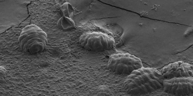 Les tardigrades utilisent une protéine unique pour se protéger contre la dessiccation