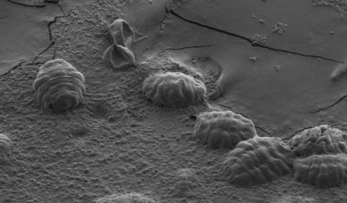 Les tardigrades utilisent des protéines uniques, connues comme les Protéines intrinsèquement désordonnées (PID), pour se protéger contre la dessiccation.