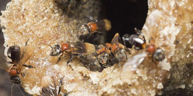 Les abeilles ont les mêmes microbes intestinaux depuis 80 millions d'années