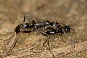 Une espèce de fourmi africaine, la Matabele (Megaponera analis) utilise des signaux et un système assez intéressant pour sauver leurs blessés.
