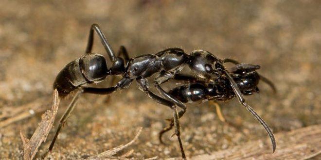 Quand les fourmis sauvent leurs blessés