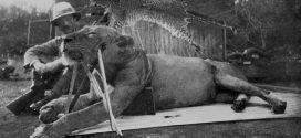 Le mystère des Lions du Tsavo qui mangeaient des humains