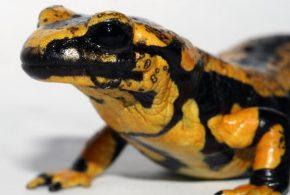 Le champion Batrachochytrium salamandrivorans connu comme le dévoreur de salamandres est en train d'exterminer les salamandres tachetées en Europe.