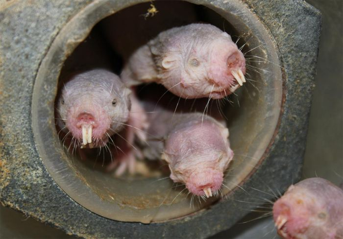 Une étude suggère que le Rat-taupe nu peut survivre jusqu'à 18 minutes sans oxygène en convertissant le fructose en combustible dans ses tissus vitaux.