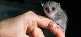 Le lémurien Microcebus, un modèle animal idéal pour les maladies humaines