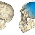 2 vues d'une reconstruction composite du plus vieux fossile d'Homo sapiens découvert à Jebel Irhoud au Maroc. Leur morphologie est quasi identique aux humains actuels, mais leur boite cranienne (en bleu) était légèrement différente - Crédit : Philipp Gunz, MPI EVA Leipzig (License: CC-BY-SA 2.0)