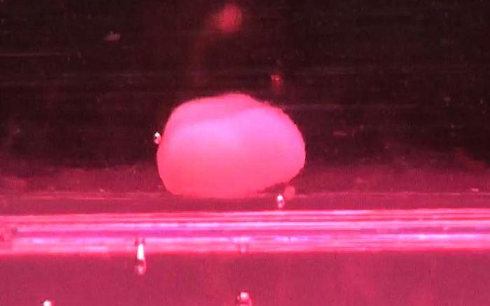 Cette image au microscope montre un organoide de foie humain de 3 jours. Ce petite foie possède un diamètre de 10 millimètres. Ce foie a été généré à partir de cellules souches pluripotentes humaines - Crédit : Cincinnati Children's/Max Planck