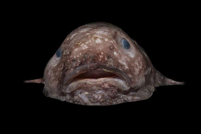 Un poisson des abysses particulièrement globuleux - Crédit : Rob Zugaro