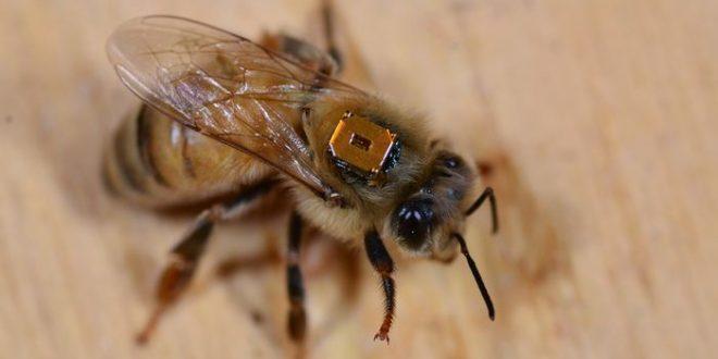 Néonicotinoïdes sur les abeilles domestiques et sauvages