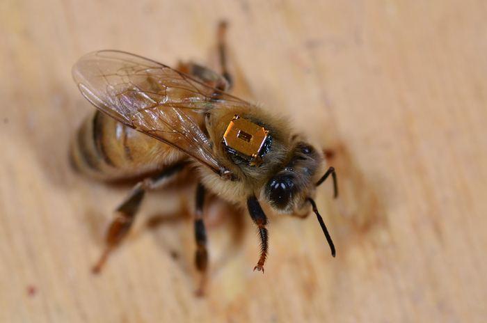 Une abeille domestique ouvrière qui possède une puce RFID attachée à son dos qui permet aux chercheurs de vérifier quand elle quitte et retourne à la colonie ainsi que pour déterminer quand elle est inactive ou morte - Crédit : Amro Zayed, York University