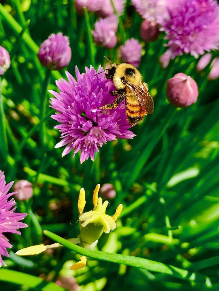Bombus rufocinctus, un bourdon couvert de pollen pendant qu'il visite une fleur à Ottawa au Canada - Crédit : Jeremy T. Kerr